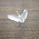09_Cicogna bianca